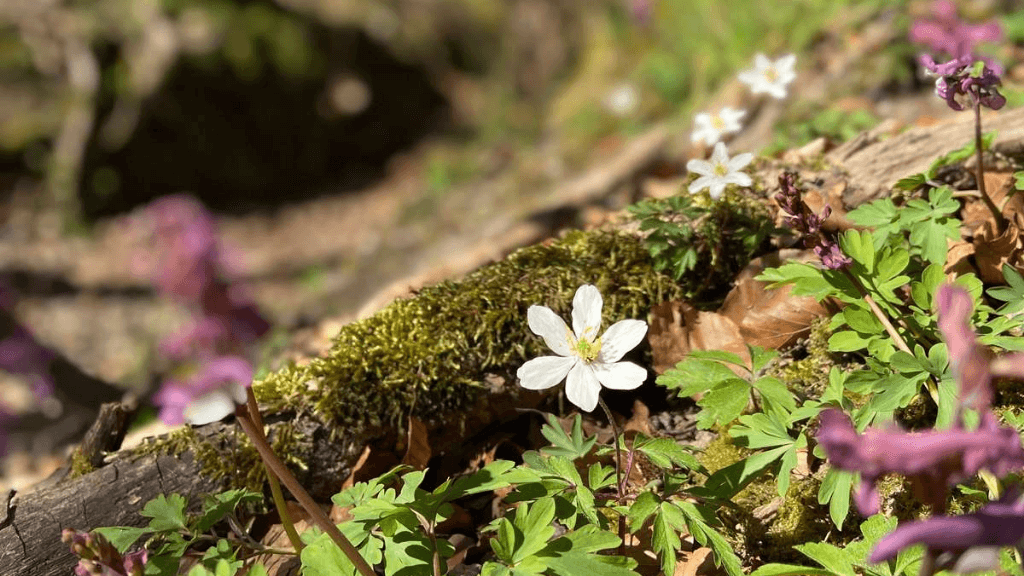 Anemonesporet i Boserup Skov