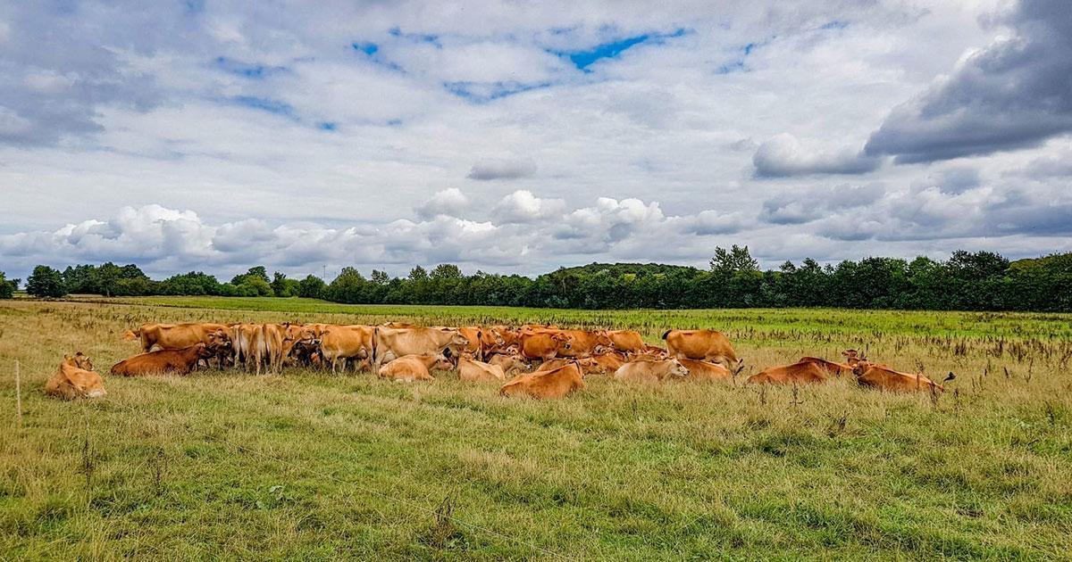Køer på Svanholm