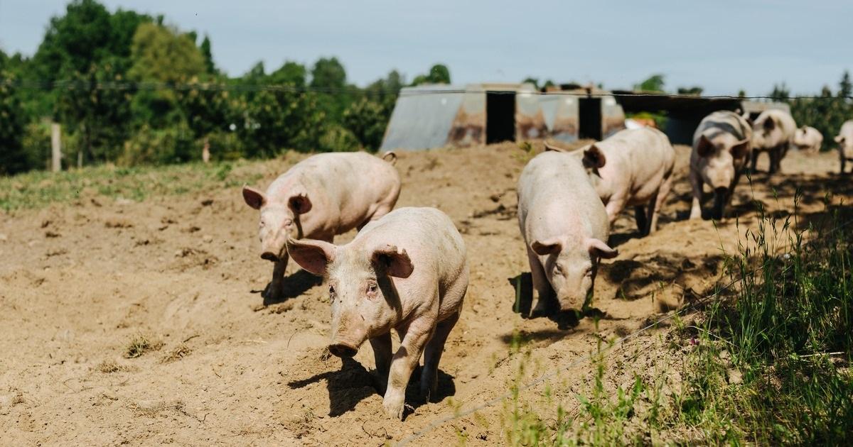 Lokale råvarer - Glade grise hos Dyssegården i Roskilde